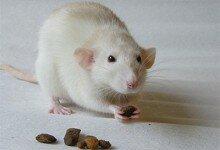Мыши, женщины и крысы